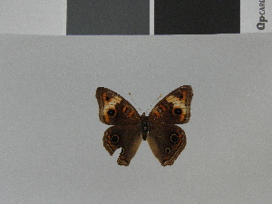 (Junonia zonalis swifti - LCB0029)  @11 [ ] Copyright (2011) Christian Brevignon Research collection of L. and C. Brevignon