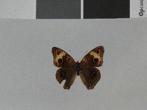 (Junonia zonalis - LCB0029)  @11 [ ] Copyright (2011) Christian Brevignon Research collection of L. and C. Brevignon