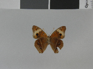 (Junonia zonalis swifti - LCB0029)  @11 [ ] Copyright (2011) Christian Brevignon Research collection of L. and C. Brevignon