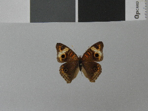 (Junonia zonalis ssp - LCB0031)  @11 [ ] Copyright (2011) Christian Brevignon Research collection of L. and C. Brevignon