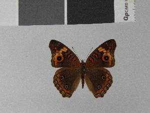 (Junonia neildi - LCB0033)  @11 [ ] Copyright (2011) Christian Brevignon Research collection of L. and C. Brevignon