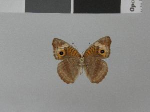 (Junonia neildi - LCB0037)  @11 [ ] Copyright (2011) Christian Brevignon Research collection of L. and C. Brevignon