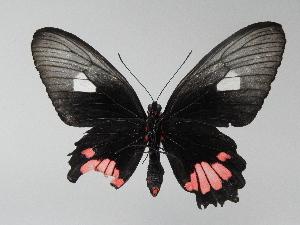 (Parides inini - LCB0043)  @12 [ ] Copyright (2011) Christian Brevignon Research collection of L. and C. Brevignon
