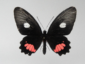 (Parides vertumnus vertumnus - LCB0044)  @12 [ ] Copyright (2011) Christian Brevignon Research collection of L. and C. Brevignon
