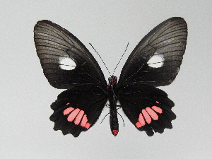 (Parides vertumnus - LCB0044)  @12 [ ] Copyright (2011) Christian Brevignon Research collection of L. and C. Brevignon