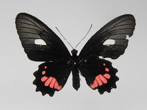(Parides anchises bukuti - LCB0045)  @12 [ ] Copyright (2011) Christian Brevignon Research collection of L. and C. Brevignon