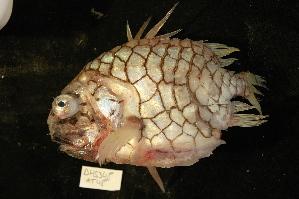 (Monocentridae - DHS0348B)  @14 [ ] Copyright (2006) D. Hinsinger/Santo2006/MNHN MNHN