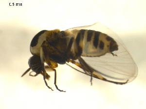 (Simulium bicoloratum - BIOUG01782-A09)  @12 [ ] CreativeCommons - Attribution Non-Commercial Share-Alike (2012) CBG Photography Group Centre for Biodiversity Genomics