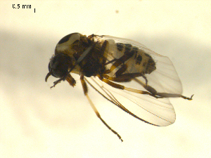 (Simulium bicoloratum - BIOUG01782-A11)  @12 [ ] CreativeCommons - Attribution Non-Commercial Share-Alike (2012) CBG Photography Group Centre for Biodiversity Genomics