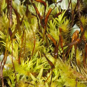 (Calymperaceae - JM8522)  @11 [ ] Copyright (2013) Jesus Munoz Universidad Tecnológica Indoamérica