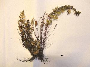 (Cheilanthes pilosa - FML-PTF-000009a)  @11 [ ] nrr  Unspecified Unspecified