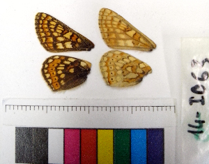 (Euphydryas glaciegenita - RVcoll.14-I063)  @12 [ ] Laboratory of Zoology (2015) Luca P. Casacci University of Turin