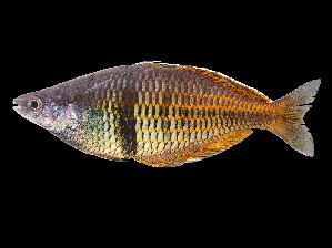 (Melanotaeniidae - Kaliwensi 325)  @15 [ ] CreativeCommons - Attribution Non-Commercial Share-Alike (2012) Laurent Pouyaud IRD