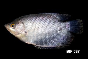 (Anabantiformes - BIF0687)  @15 [ ] CreativeCommons - Attribution Non-Commercial Share-Alike (2014) Nicolas HUBERT IRD