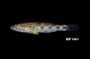 (Glossogobius - BIF1464)  @15 [ ] by-nc-sa - Creative Commons - Attribution Non-Comm Share-Alike (2014) Nicolas HUBERT IRD