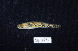 (Schismatogobius - BIF2835)  @14 [ ] CreativeCommons – Attribution Non-Commercial Share-Alike (2014) Nicolas HUBERT IRD