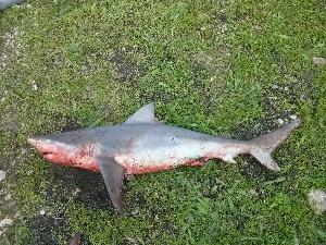 (Carcharhinus sp - F-024)  @11 [ ] Copyright (c) (2014) Stern N. Tel Aviv University