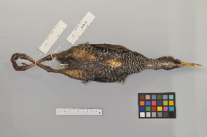 (Gallirallus - NSMT-DNA8432)  @14 [ ] Copyright (c) (2014) I. Nishiumi National Museum of Nature and Science, Tokyo