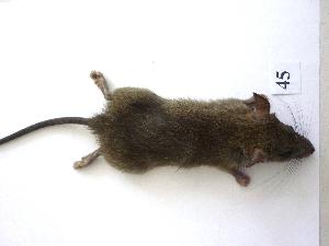 (Rattus rattus - mambg045)  @14 [ ] Copyright  G. Blagoev 2012 Unspecified