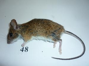 (Apodemus flavicollis - mambg048)  @14 [ ] Copyright  G. Blagoev 2012 Unspecified