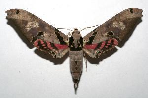 (Adhemarius gannascus - 07-SRNP-103744)  @15 [ ] CreativeCommons - Attribution Non-Commercial Share-Alike (2007) Daniel H. Janzen Guanacaste Dry Forest Conservation Fund