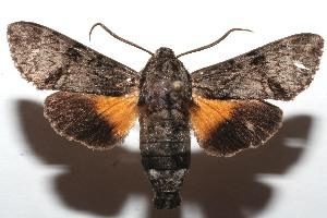 (Amphonyx yucatanus - 08-SRNP-107445)  @11 [ ] CreativeCommons - Attribution Non-Commercial Share-Alike (2013) Daniel H. Janzen Guanacaste Dry Forest Conservation Fund