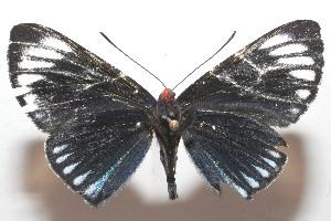 (Esthemopsis clonia - 10-SRNP-103683)  @14 [ ] CreativeCommons - Attribution Non-Commercial Share-Alike (2010) Daniel H. Janzen Guanacaste Dry Forest Conservation Fund