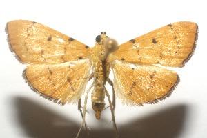 (Spilomelinae - 11-SRNP-106103)  @16 [ ] CreativeCommons - Attribution Non-Commercial Share-Alike (2010) Daniel H. Janzen Guanacaste Dry Forest Conservation Fund