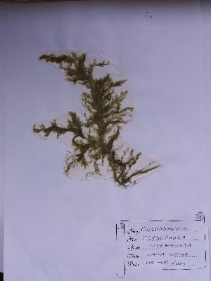 (Cladophora vagabunda - CCDB-25790-E11)  @11 [ ] CreativeCommons – Attribution Non-Commercial Share-Alike (2016) Oana Marin INCDM