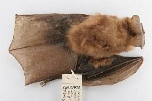 (Nycteris - ROM MAM 101970)  @14 [ ] Copyright (2006) Unspecified Royal Ontario Museum