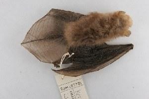 (Kerivoulinae - ROM MAM 107721)  @14 [ ] Copyright (2006) Royal Ontario Museum Royal Ontario Museum