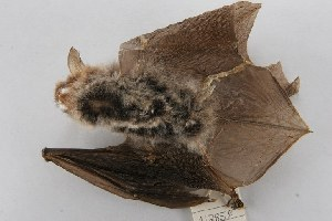 (Myotis bombinus - ROM 112858)  @13 [ ] Unspecified (default): All Rights Reserved  Unspecified Unspecified