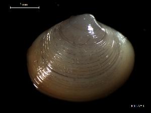(Arctica islandica - MT07753)  @12 [ ] by-nc-sa (2015) Unspecified Deutsche Zentrum fuer Marine Biodiversitaetsforschung Wilhelmshaven