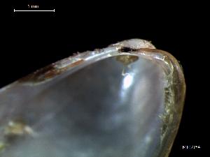 (Modiolus sp - MT07754)  @11 [ ] CreativeCommons - Attribution Non-Commercial Share-Alike (2015) Unspecified Deutsche Zentrum fuer Marine Biodiversitaetsforschung Wilhelmshaven