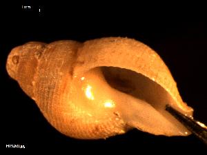 (Buccinum sp - MT09269)  @11 [ ] by-nc-sa (2015) Unspecified Deutsche Zentrum fuer Marine Biodiversitaetsforschung Wilhelmshaven