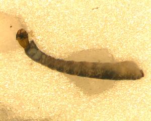 (Simulium (Thyrsopelma) sp. 3 - BNB2-00132)  @12 [ ] CreativeCommons - Attribution Non-Commercial Share-Alike (2010) BIO Photography Group Biodiversity Institute of Ontario