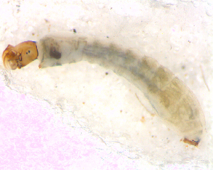 (Simulium (Thyrsopelma) sp. 2 - BNB2-00485)  @12 [ ] CreativeCommons - Attribution Non-Commercial Share-Alike (2010) BIO Photography Group Biodiversity Institute of Ontario