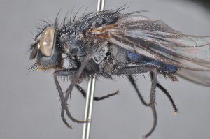 (Calliphora alaskensis - TLW 148)  @13 [ ] No Rights Reserved (2011) Terry Whitworth Unspecified