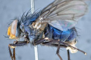 (Henriquella - TLW294)  @11 [ ] Copyright (2015) Terry Whitworth Department of Entomology, Washington State University