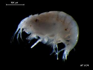 (Stenothoidae - MT03929)  @13 [ ] CreativeCommons - Attribution Non-Commercial Share-Alike (2014) Unspecified Deutsce Zentrum fuer Marine Biodiversitaetsforschung