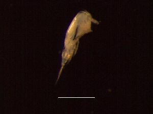 (Corycaeidae - MT03917)  @13 [ ] CreativeCommons - Attribution Non-Commercial Share-Alike (2011) Inga Mohrbeck DZMB