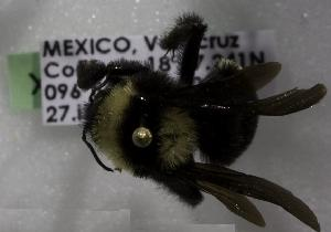 (Bombus medius - 005663 D01-MEX)  @13 [ ] CreativeCommons - Attribution Non-Commercial Share-Alike (2011) Packer Collection York University York University