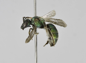 (Augochlorella acarinata - B1397-G02)  @14 [ ] CreativeCommons - Attribution Non-Commercial Share-Alike (2010) Unspecified York University