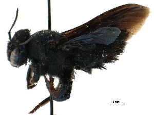 (Megachile GRC01 - CCDB-09855 H05)  @14 [ ] CreativeCommons - Attribution Non-Commercial Share-Alike (2016) BIO Photography Group Biodiversity Institute of Ontario