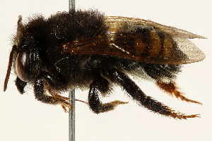 (Megachile iheringi - 06708C11-BRA)  @11 [ ] CreativeCommons - Attribution Non-Commercial Share-Alike (2016) BIO Photography Group Biodiversity Institute of Ontario