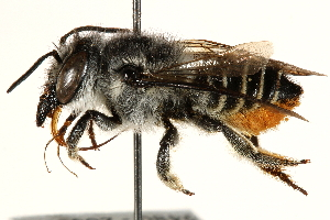 (Megachile rava - 06708D08-BRA)  @11 [ ] CreativeCommons - Attribution Non-Commercial Share-Alike (2016) BIO Photography Group Biodiversity Institute of Ontario