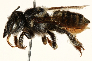 (Megachile aetheria - 06708E07-BRA)  @11 [ ] CreativeCommons - Attribution Non-Commercial Share-Alike (2016) BIO Photography Group Biodiversity Institute of Ontario