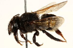 (Megachile pseudanthidioides - 06708F01-BRA)  @11 [ ] CreativeCommons - Attribution Non-Commercial Share-Alike (2016) BIO Photography Group Biodiversity Institute of Ontario