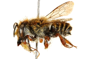 (Megachile tupinaquina - 06708F05-BRA)  @11 [ ] CreativeCommons - Attribution Non-Commercial Share-Alike (2016) BIO Photography Group Biodiversity Institute of Ontario