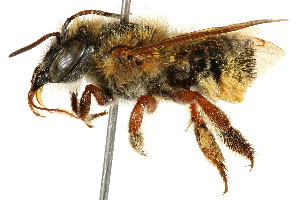 (Megachile susurrans - 06708F06-BRA)  @11 [ ] CreativeCommons - Attribution Non-Commercial Share-Alike (2016) BIO Photography Group Biodiversity Institute of Ontario